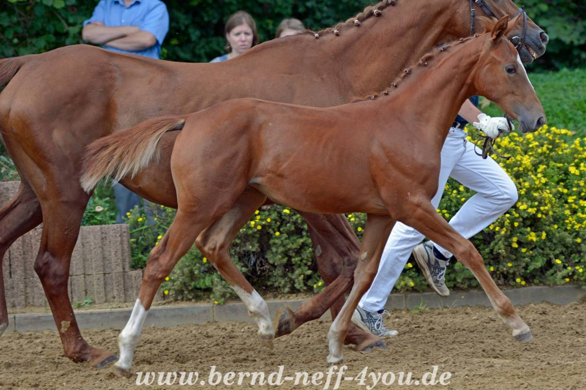 SF v. Galant de Semilly - Foxhunter *20.04.2017